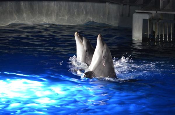 [京都水族館]GW・夏休みは夜の特別営業がおすすめ! 混雑を避けてイルカショーを楽しもう! | ごりらのせなか