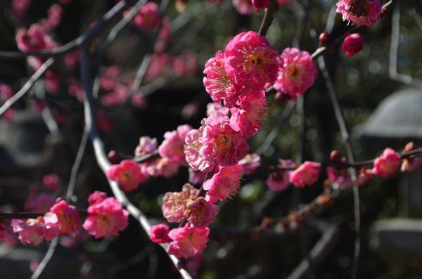 北野天満宮の梅