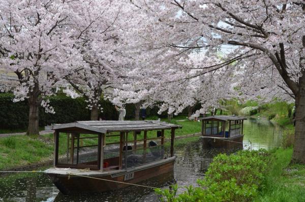 新しい国民の休日を提案するでおじゃる! 開花予測と天気予報をもとに発表される「さくらの日」 | ごりらのせなか