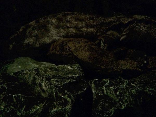 夜は活動的なオオサンショウウオ