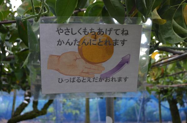 梨の採り方