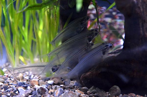 ガイコツみたいな魚!?