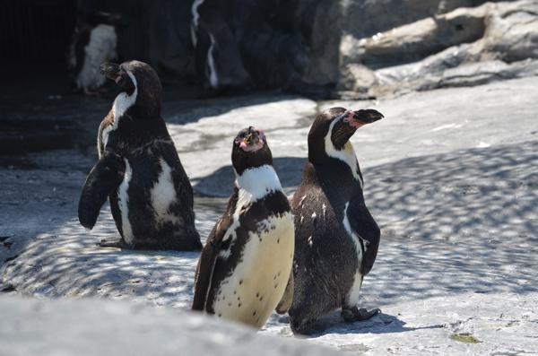 旭山動物園には4種類のペンギンがいる