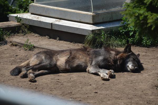 お昼寝中のオオカミ