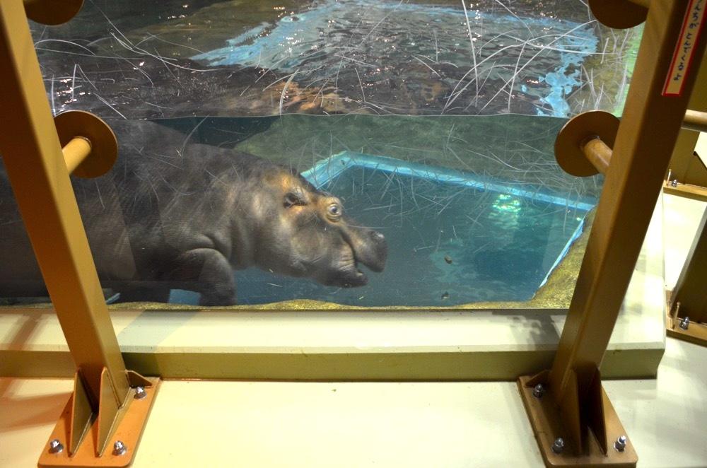 水の中ではげしく動きまわるカバ