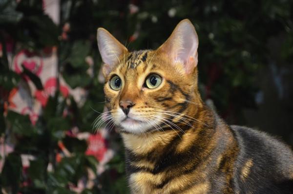 「京都ひょう猫の森」はベンガル専門の猫カフェ! ひょう柄がかわいいにゃ〜!! | ごりらのせなか