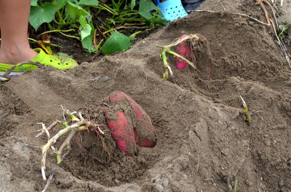 土がやわらかいので掘りやすい