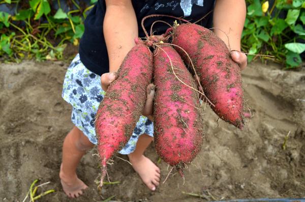 [京都・城陽]「あらす観光いも掘り農園」は小さな子どもでも味覚狩りを楽しめるよ! | ごりらのせなか