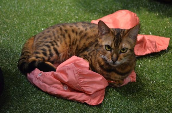 ジャンパーの上で落ち着く猫