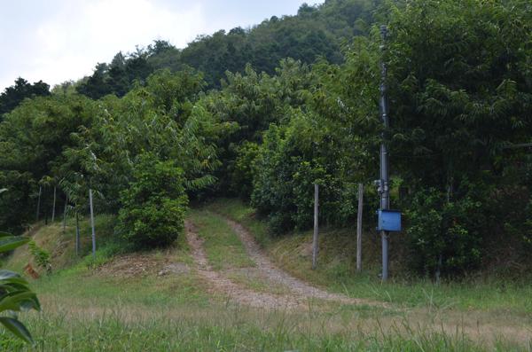 山の斜面に植えられている栗の木