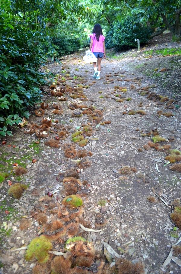 栗を拾いながら山道を登る