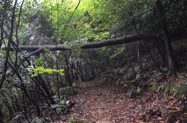 山道に倒木が!