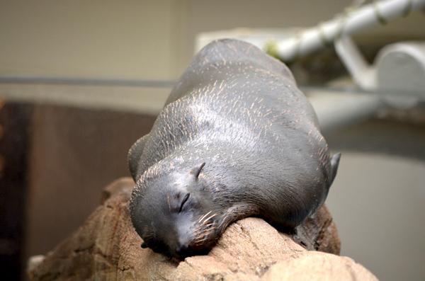 丸太の上で寝ているオットセイ