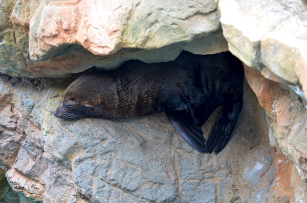 岩の間で寝ているオットセイ