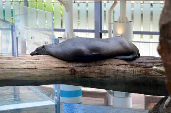 丸太の上で寝ているオットセイ(横から見たところ)