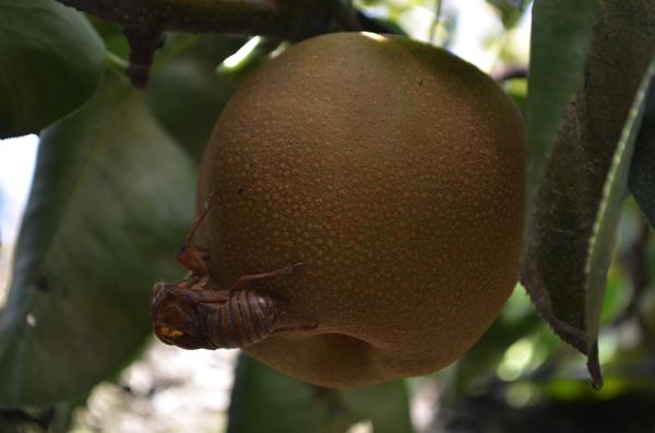 梨の実にぶら下がっているのは?