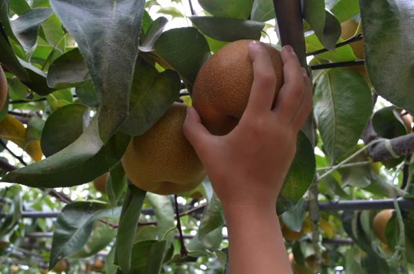 梨を持ち上げて収穫する