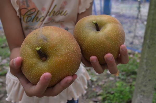 やわた梨狩り園の梨は「豊水」