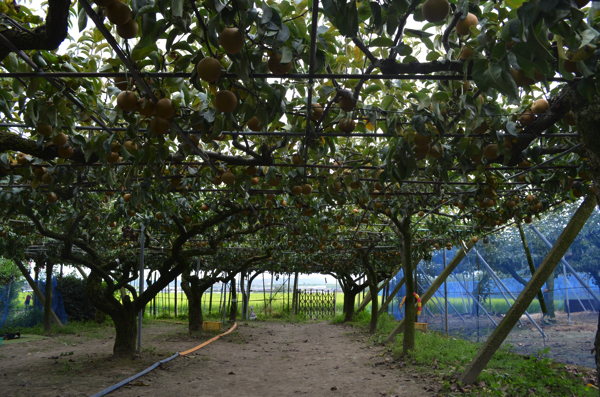 やわた梨狩り園