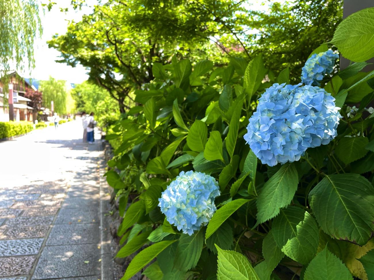 白川沿いに咲くあじさい