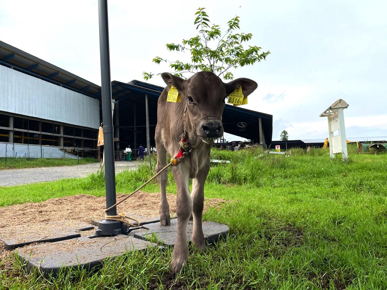 ブラウンスイス種の乳牛