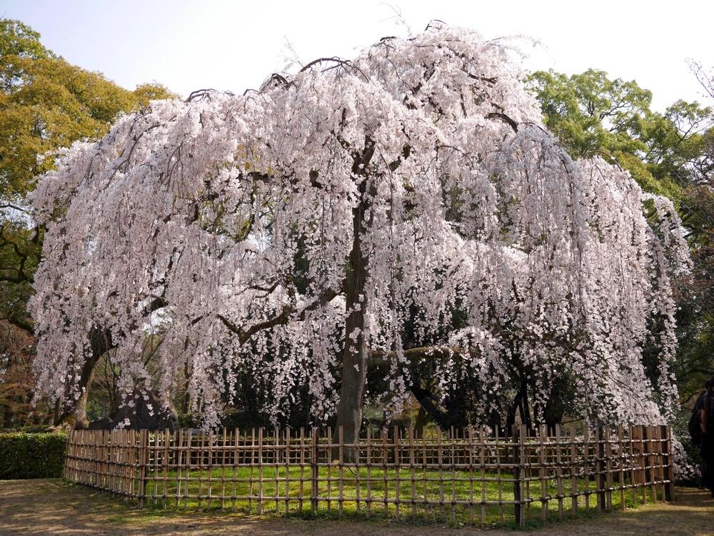 京都御苑の枝垂れ桜は出水・近衛...