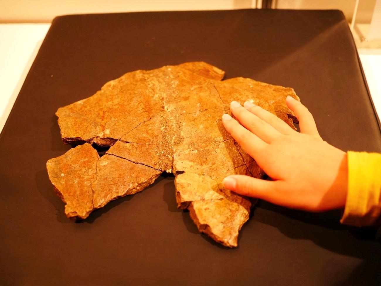 トリケラトプスのフリルの化石
