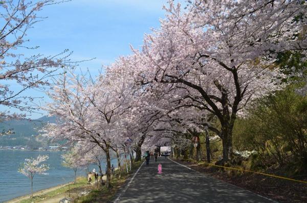 琵琶湖のお花見は海津大崎。全長4kmにわたる600本の桜並木が美しい!   ごりらのせなか