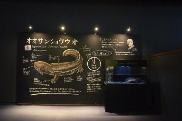 京都水族館の人気者・オオサンショウウオ