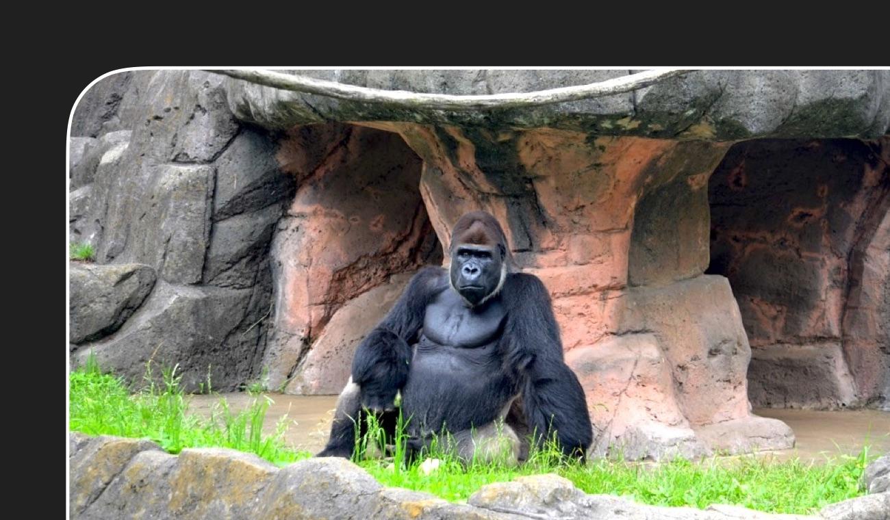 ゴリラの情報・ゴリラのいる動物園