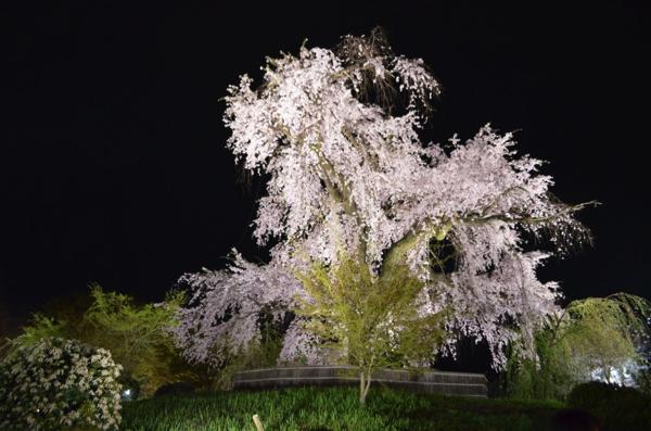 京都で夜のお花見なら円山公園。「祇園の夜桜」の異名を持つ一重白彼岸枝垂桜の美しさが圧巻! | ごりらのせなか