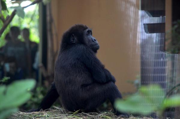 今すぐ会いに行こう! 絶滅危惧種「ゴリラ」がいる日本の動物園まとめ | ごりらのせなか