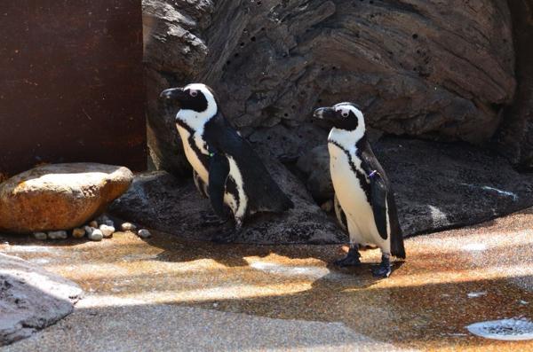 京都の通り名から名付けられたペンギンたち