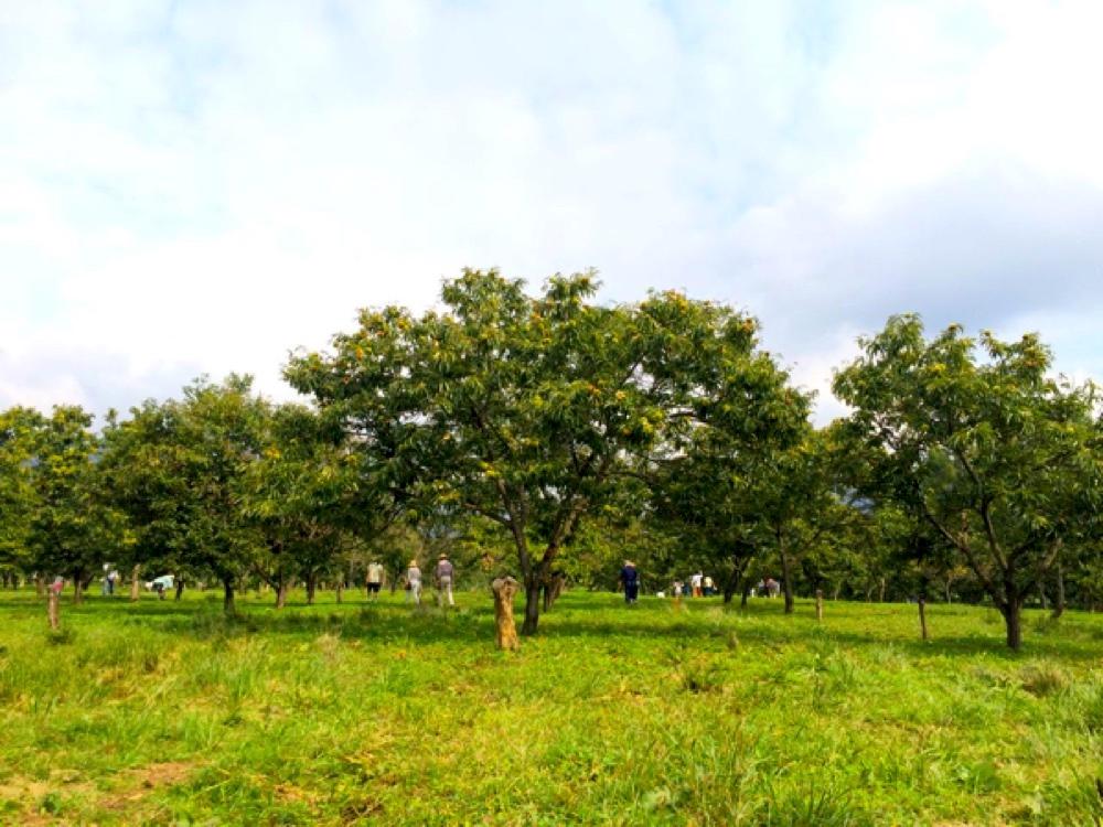 マキノピックランドの栗園